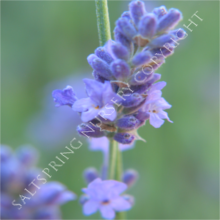 Old English Lavender