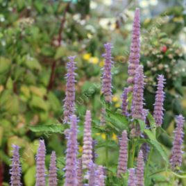 agastache Blue Carpet
