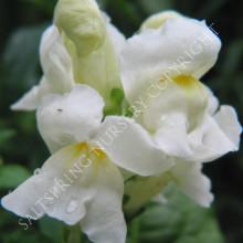 Antirrhinum majus White