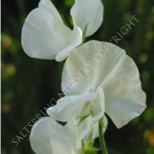 Sweet Pea Tall Pure White