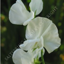 Sweet Pea Tall Pure White