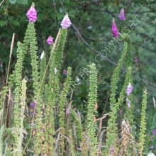 Digitalis purpurea Foxglove Seeds