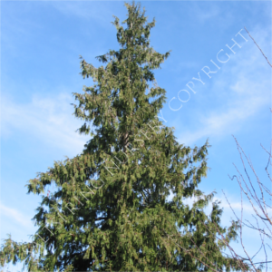 Western Red Cedar Tree