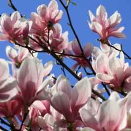 What magnolias like