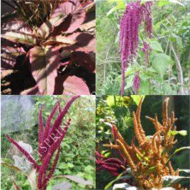 Amoranthus Seeds