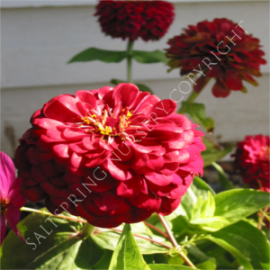 Zinnia Deep Red Seeds
