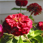 Big Red Zinnia