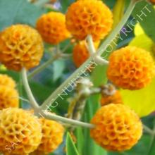 Buddleja Orange Ball Seeds