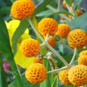 Orange Ball Buddjea