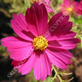 Cosmos Dazzler Seeds