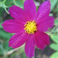 Cosmos bipinnatus Dazzler Seeds