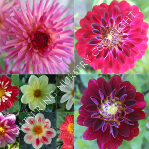 DAHLIA SEED COLLECTION