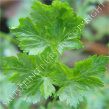 Parsley Italian Flat Leaf Seeds