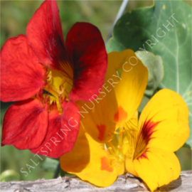 Out of Africa Nasturtium Seeds