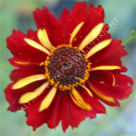 https://www.saltspringnursery.com/product/coreopsis-roulette-seeds/