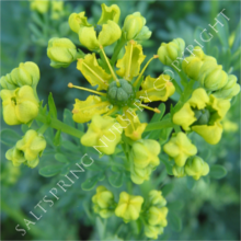 Rue Flower Seeds