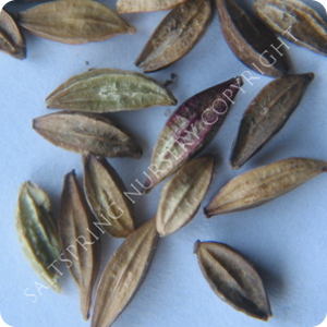 Seed Illustrations