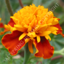 Tiger Eyes Marigold