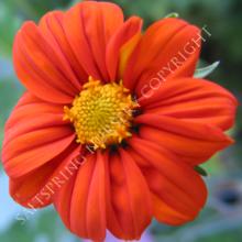 Mexican Sunflower Seeds