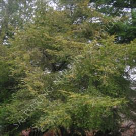 yew tree mature