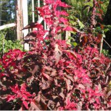 Amaranthus tricolor perfecta seeds