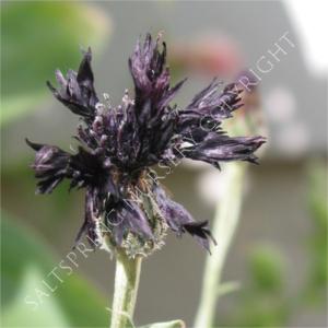 Black Cornflower