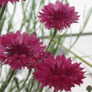 Cornflower Red