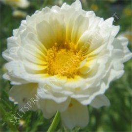 Shingiku Daisy