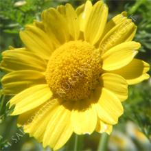 Shingiku Daisy Chrysanthemum Seeds