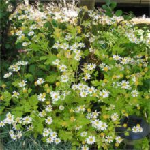 Feverfew Single Flowers