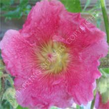 Hollyhock Antwerp Pink
