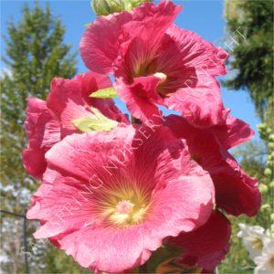 Alecea filicifolia Pink