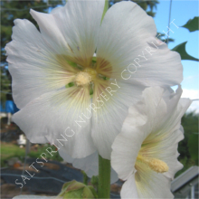 Hollyhock antwerp white