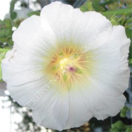 Antwerp White Hollyhock