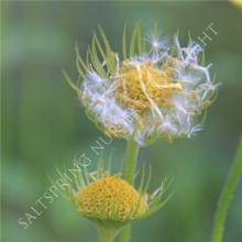 Leapords bane flower