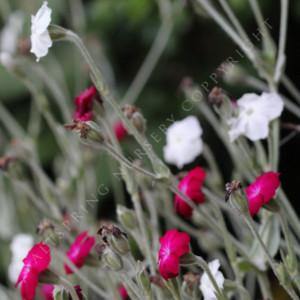 lychnis scarlet white mix