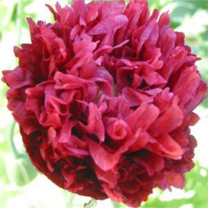 Red Paeony Poppy