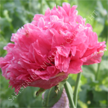 Poppy Paeony Pink Seeds