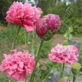 Poppy Paeony Pink Seeds
