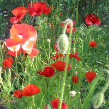 Flander's Field Poppy
