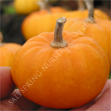 Miniature Pumpkin
