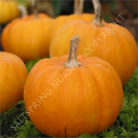 Miniature Jack Pumpkin Seeds