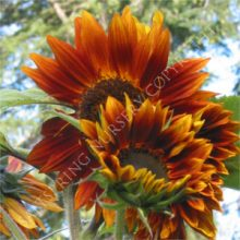 Russian Mammoth Gold Sunflower