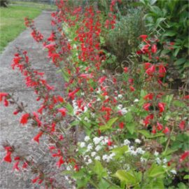 Salvia Summer Jewel
