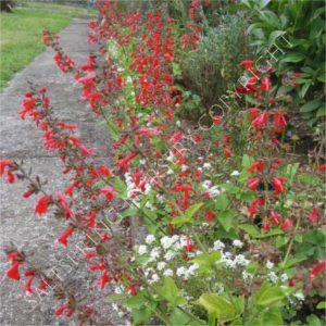 Salvia Summer Jewel