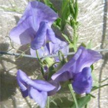 Lathyrus Odoratus Blue