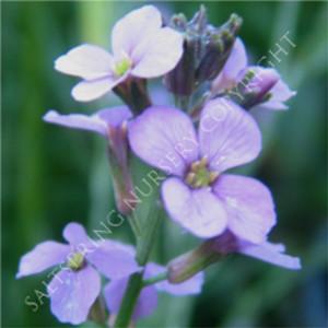 Wall Flower Bowels Mauve 300