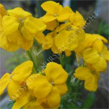 Cherianthus x allionii
