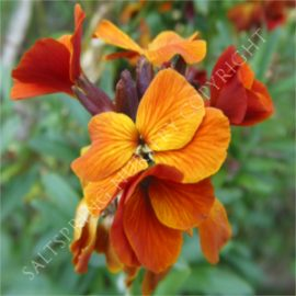 Siberian Wallflower