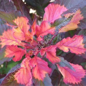 Amaranthus tricolor perfecta